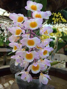 Orchid: Dendrobium farmeri - Flickr - Photo Sharing!