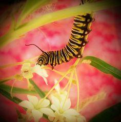 A hungry Monarch Caterpillar #Caterpillar #Nature