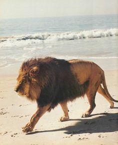 - wild on the beach, tiger on the sun -