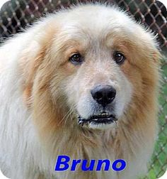 8/16/14 Beacon, NY - Great Pyrenees Mix. Meet Bruno - new!, a dog for adoption. http://www.adoptapet.com/pet/11391734-beacon-new-york-great-pyrenees-mix