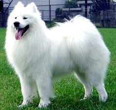 1000+ images about Favorite Dog Breeds on Pinterest   Dogs ...