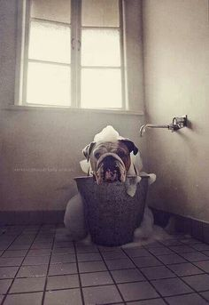 I have no idea how to get outta this bucket...my butt is stuck!     English bulldog @Stephanie Close Close Close Close Close Close Bishop-Luke