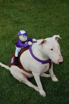 Bull Terrier Derby. I want one for my bull terriers!