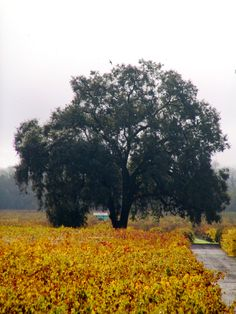 Oak tree in the fall at deLorimier Winery