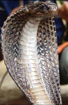 Pretty Snakes, Cool Snakes, Colorful Snakes, Beautiful Snakes, Animals Beautiful, Snake Art, Pet Snake, Snake Information, Kobra Tattoo