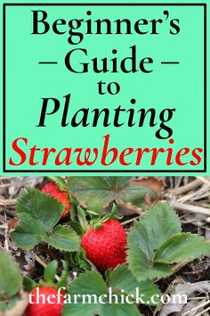 growing strawberries in containers Want to experience fresh, warm, garden strawberries from your own patch? Read on to learn how to plant your own strawberries! Strawberry Plant Care, Strawberry Beds, Strawberry Planters, Strawberry Garden, Strawberry Patch, Fruit Garden, Garden Plants, When To Plant Strawberries, Growing Strawberries In Containers