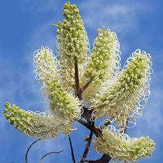 Australian Seed - GREVILLEA leucopteris
