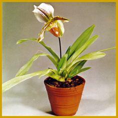 """Orchideenkrankheiten und ihre Symptome.  Orchideen gehören glücklicherweise nicht zu den Pflanzen, die besonders stark unter Krankheiten und Schädlingen leiden. Wenn Orchideen Symptome irgendeiner Krankheit aufweisen, muß man die Pflanzen ganz genau untersuchen, bevor man Gegenmaßnahmen ergreift. In vielen Fällen zeigt es sich, daß die """"Symptome"""" in Wirklichkeit Fehler in der Pflege sind. http://www.zimmerpflanzenfreunde.de/Orchideenkrankheiten.html"""