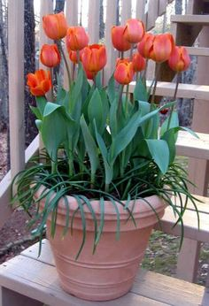 Tulips in a pot for Spring