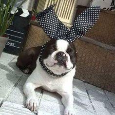 Negi❤︎ …2010年夏ねぎ4歳の時😋 原宿の店舗に毎日出勤していた時〜 みんなのパピーの写真見てたら懐かしくなって (¬_¬) ねぎの写真を昔のblogから写真GET! 看板犬だったのよっ🐼 #ボストンテリア #bostonterrier #愛犬 #dog #ボステリ #ボストンテリアbostonterrier #懐かしいシリーズ #bostterrier_feature #4歳 #バニー犬 #bostonterriersforever #bostonterrierlove #原宿 #看板犬