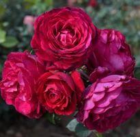 予約苗 バラ苗 アンプラント 国産大苗6号鉢  四季咲き つるバラ 赤系【2013年2月上旬発送】