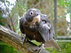 Greater Vasa Parrot by P. Stubbs photo, via Flickr