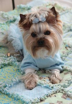 Corinne Marie ~ Owned by Yorkies #dogs #yorkie