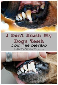 Blog post at YouDidWhatWithYourWiener.com : Disclaimer: A thorough dental cleaning under anesthesia, and brushing your dog's teeth, is considered the 'gold standard' by veterinarians f[..] #teethcleaning