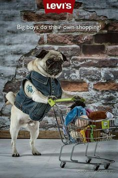 Pugs Know What They Want... my Sophie loved to pick out her own things...