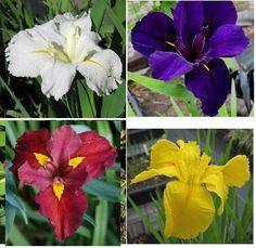4 Louisiana Iris White Purple Red Yellow Garden Bog Pond Perennials   eBay Louisiana Iris, Bog Plants, Bog Garden, Outdoor Landscaping, Perennials, Pond, Garden Ideas, Wedding Decorations, Gardening