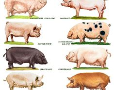 size laminated Poster of different breeds of poultry, Two different posters to choose from. Or buy both with reduced price and postage. size x 12 inches. Pig Breeds, Rabbit Breeds, Horse Breeds, Animal Pictures For Kids, Bird Pictures, Rare Animals, Animals And Pets, Homemade Hummingbird Food, Livestock Judging