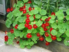 Nasturtium 'Empress of India'.  These practically glow in the dark when the sun goes down.  Edible flowers look so pretty in salads and as garnishes.