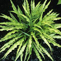 Curly Fries hosta plants-present-future Hosta Plants, Shade Plants, Cool Plants, Garden Plants, Outdoor Plants, Outdoor Gardens, Hosta Varieties, Hosta Gardens, Garden Gates