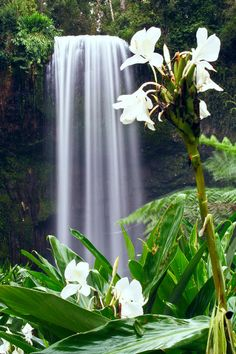 Hawaiian White Ginger and waterfall...ahhhh...