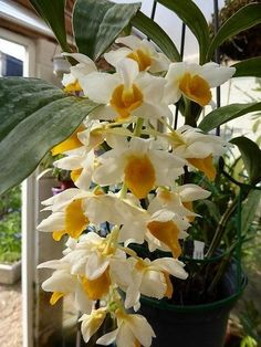 Types Of Orchids, Types Of Flowers, Begonia, Orchid Varieties, Bloom Where Youre Planted, Orchid Show, Dendrobium Orchids, Orchidaceae, Different Flowers