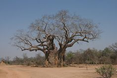Baobabs occur across the continent of Africa, and a line of Baobabs, spaced at approximately 96 kilometres from each other runs across the Kalahari Desert, North West of South Africa extending into Namibia and Botswana.  The Sunland 'Big Baobab' in Modjadjiskloof, Limpopo Province, South Africa, is famous for being the widest of its species in the world and is carbon dated to be around 6000 years old.