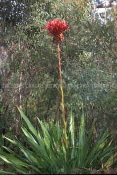 Gymea Lily (Doryanthes excelsa) native to coastal areas of NSW, Australia. Stunning flower!