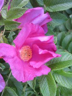 Rosa rugosa, kurttulehtiruusu