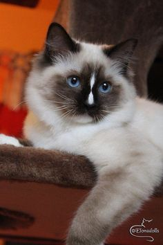 Seal Point Mitted Ragdoll Cat with hourglass blaze