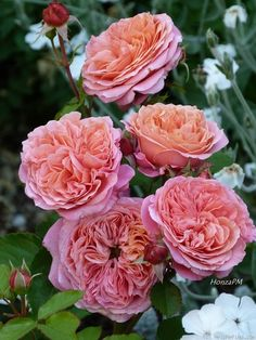 Photo of the rose 'Mary Ann '