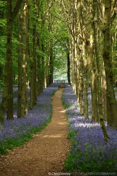 Woodland path in bluebell wood, England, UK This reminds me of the amazing walk I took Andrew on when we were in the UK - through bluebells and into the a magical woodland where we climbed trees and kissed! Forest Path, Woodland Garden, Walk In The Woods, English Countryside, Pathways, Belle Photo, Wonders Of The World, Garden Design, Beautiful Places