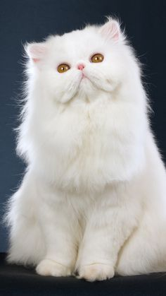 Beautiful white Persian cat with golden eyes.