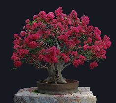 Bansai Crepe Myrtle... Really Love Love This Deep & Beautiful Color... Enlarge This Pic and Look at These Flowers...Wow!!