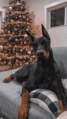 Black Doberman, Doberman Love, Dachshund Puppies, Cute Dogs And Puppies, Animals And Pets, Cute Animals, Scary Dogs, Doberman Pinscher Dog, Animal Jokes