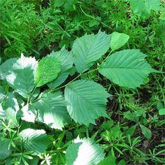 hegyi szil-bükkösökben Plant Leaves, Herbs, Plants, Herb, Planters, Plant, Spice, Planting