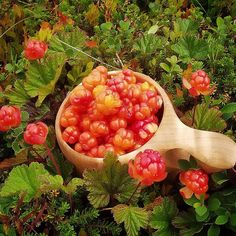 Wild Cloudberries are packed with goodness! Did you know that researchers from the University of Helsinki found that an extract from wild Cloudberries may provide protection against cancer? Just another reason to enjoy this wonderful golden berry...and our organic Prosecco infused with nutritious extract of wild Scandinavian Cloudberries! 😉❤️🍸 #cloudberry  #berries #berry #organic #organicfood #organicwine #wild #wildberry #antioxidants #healthy #healthysnack #health #superfood #fall…
