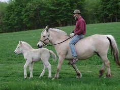 fjord horses - you can ride them too!!!  @nikki striefler Kleinendorst