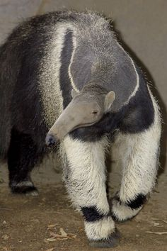 It is again an interesting comparison, difference and similarity between Anteater vs Aardvark. Read this article to compare Aardvark vs Anteater fight, who going to win? Most Beautiful Animals, Beautiful Creatures, Mundo Animal, Animal 2, Armadillo, Giant Anteater, American Animals, Rare Animals, Animals Of The World