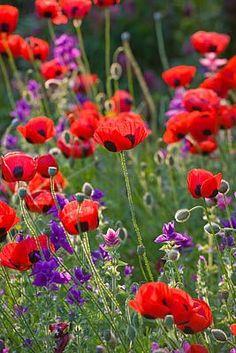 Ladybird poppies - Papaver Commutatum, Caucasian Scarlet Poppy, Clive Nichols Garden Photography