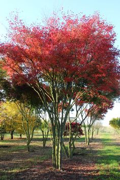 Acer palmatum Small Trees For Garden, Small Garden Design, Garden Trees, Trees To Plant, Garden Plants, Baumgarten, Sunken Garden, Acer Palmatum, Driveway Landscaping