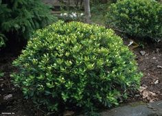 Ilex glabra | Inkberry Holly, Ilex glabra 'Compacta' {Photo: ... | gardening