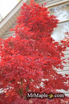 7 Best Japanese Maple Images In 2015 Acer Palmatum Japanese Maple