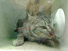 ★★AT RISK FOR EUTHANASIA★★ PER SHELTER, NEEDS AN ADOPTER OR RESCUE COMMITMENT BY NOV 9TH  #A442439 (Moreno Valley, CA) Male, gray tabby Domestic Shorthair mix. My age is unknown. I may be a feral cat. I have been at the shelter since Nov 04, 2014 and I may be available for adoption on Nov 09, 2014 at 5:20PM. For more information about this animal, call: Moreno Valley Animal Services at (951) 413-3790  ID # A442439