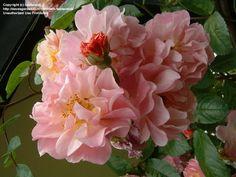 Full size picture of Hybrid Musk Rose 'Cornelia' (Rosa)