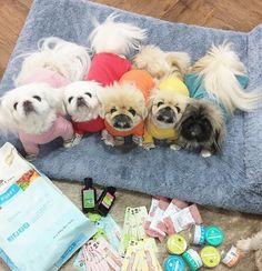 Pekingese pajama party! #pekingese