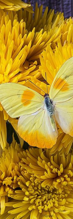 yellow butterfly and flower Beautiful Bugs, Beautiful Butterflies, Beautiful Flowers, Butterfly Kisses, Butterfly Wings, Moth Caterpillar, Mellow Yellow, Color Yellow, Shades Of Yellow