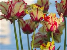 Camp Wander: How to Care for Tulips When the Bloom is Gone