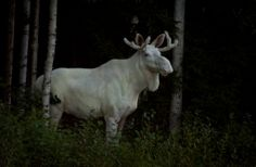the boreal forests of värmland, found in the borderlands between sweden and norway, are home to rare leucistic white moose - only about a hundred of them are known to exist. their fur colouration is. Albino Moose, Wild Animal Wallpaper, Moose Pictures, White Moose, Safari, Bull Moose, Large Animals, Wild Animals, Beautiful Creatures