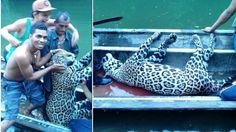 The photos of a group of lowlifes placing an endangered jaguar in their boat have been uploaded on Facebook by one of those inv...