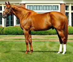 Preakness and Breeders' Cup winner and two time Horse of the Year, thoroughbred  stallion, Curlin.